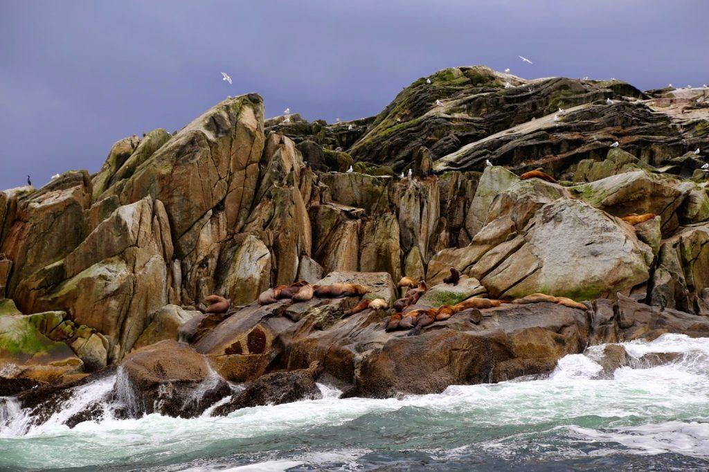 Sea lions on a rock, sitka, alaska