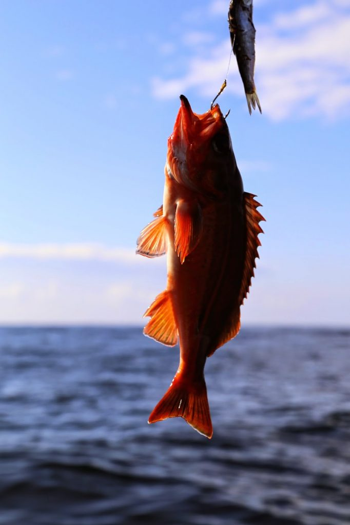 Catching a rockfish, sitka, alaska
