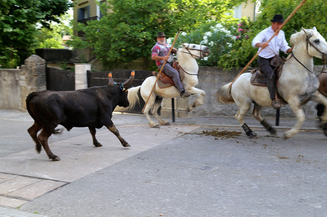bull and horsemen at the bull running south of France, languedoc