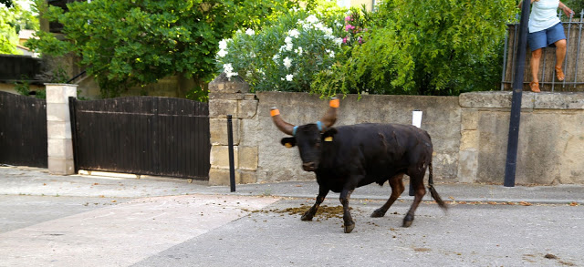 bull looking at me,  at the bull running south of France, languedoc