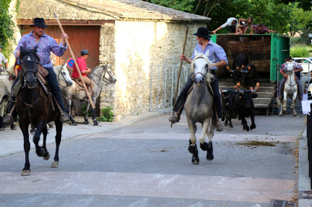Bull being let out, horsemen at the bull running south of France, languedoc