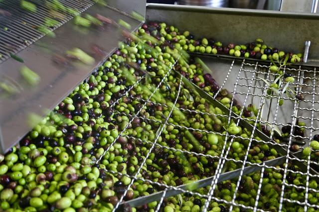 The olives are lifted onto a machine which washes them and further separates out any leaves. OLIVE OIL SICILY
