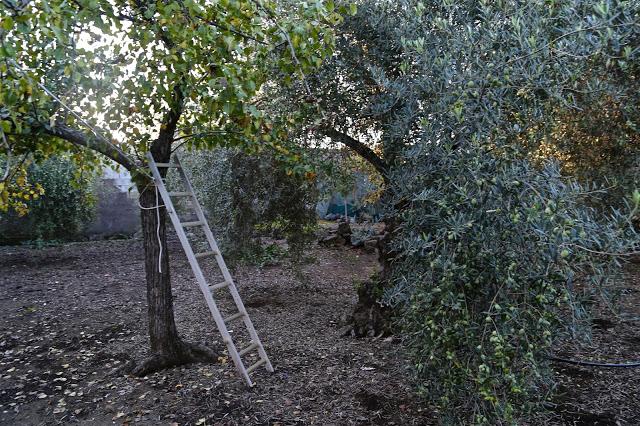 OLIVE OIL SICILY