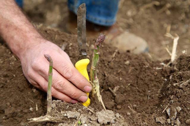 asparagus in Kent, Mathew Spanton Farm.