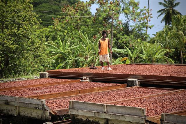 Fermenting cocao beans, grenada
