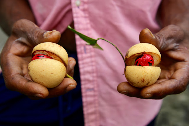 Fresh nutmegs with bright scarlet mace, grenada