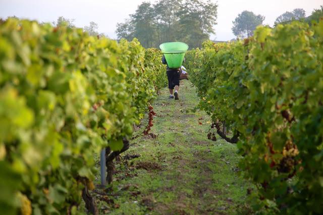 carriers during the vendange at sauternes, sweet bordeaux