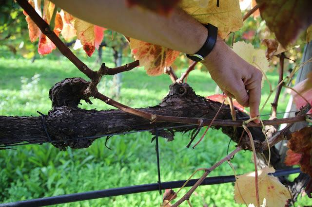 Pruning quinta da gomariz, vinho verde, portugal