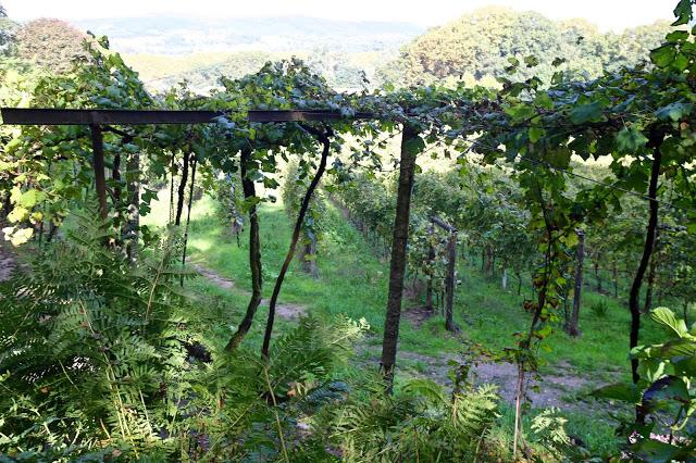 tall vinho verde vines, portugal