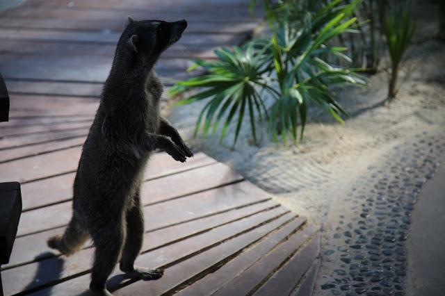 raccoons,  las nubes, holbox,yucatan, mexico