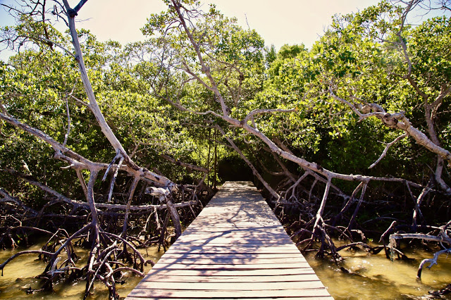 mangroves, holbox, mexico
