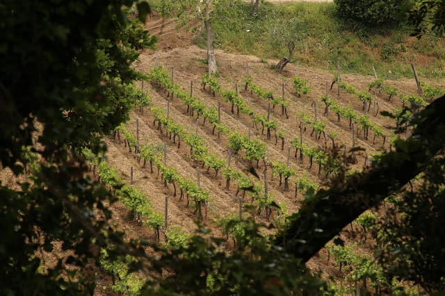 Colosi vineyard, Salina, Sicily