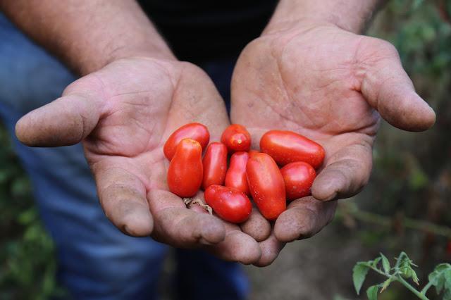 Good tomatoes Pic: Kerstin Rodgers/msmarmitelover.com
