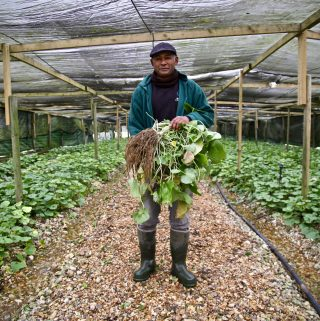 wasabi farmer, UK. David Turton Pic: Kerstin Rodgers/msmarmitelover.com