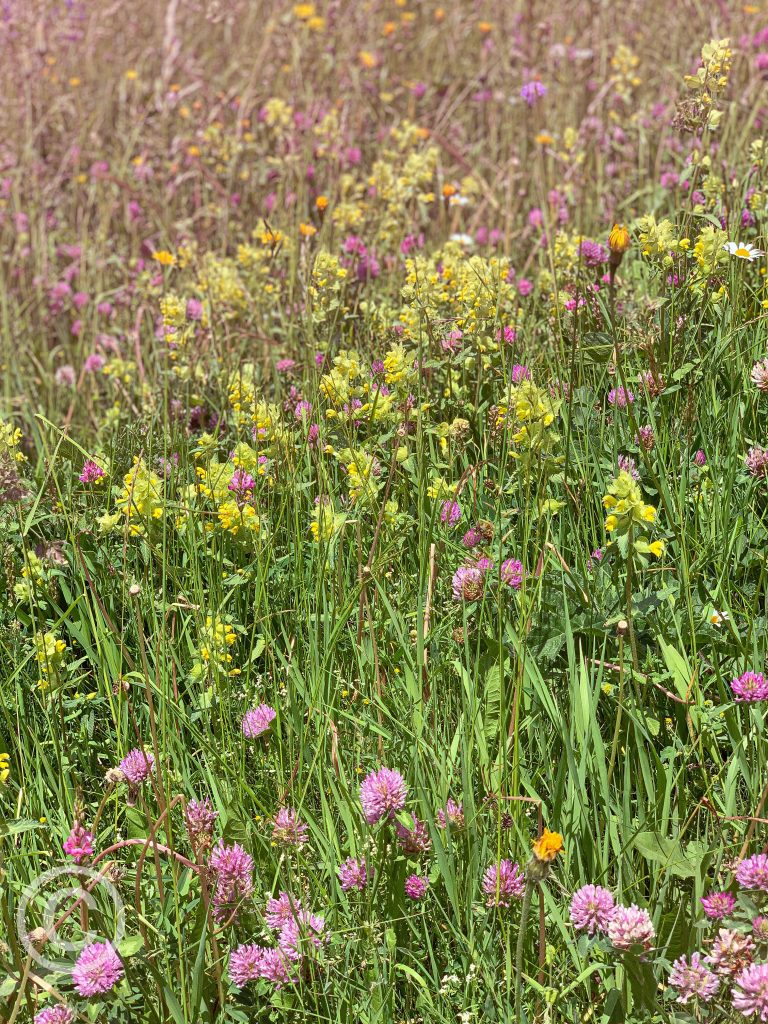 alpine flowers pix: Kerstin Rodgers/msmarmitelover.com