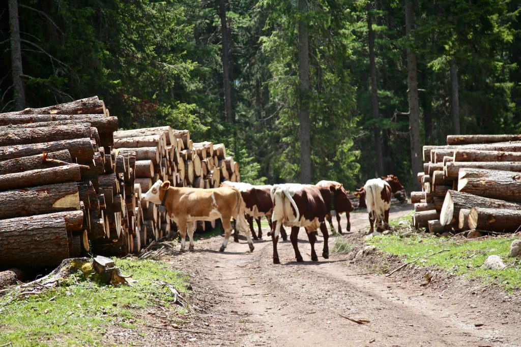 cows in South Tyrol dolomites pix: Kerstin Rodgers/msmarmitelover.com