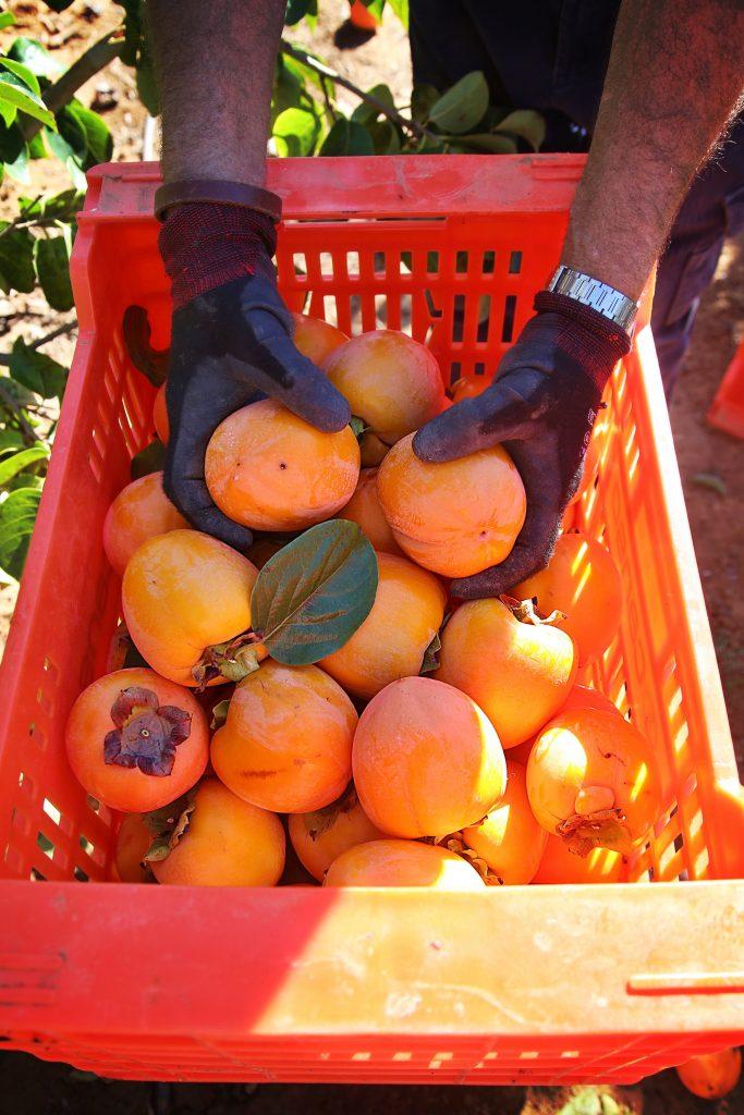 persimon farm, valencia, Spain pic: Kerstin rodgers/msmarmitelover.com