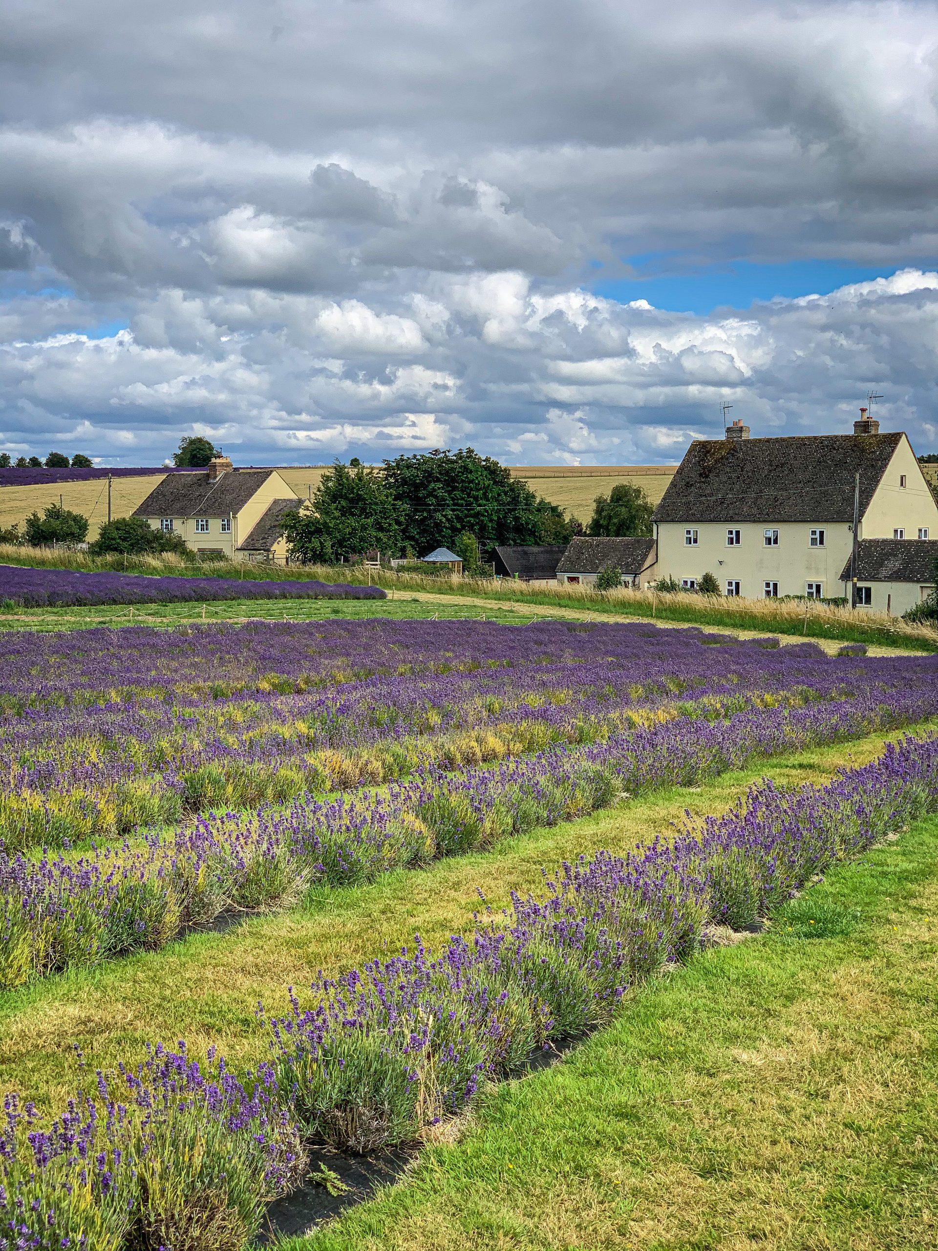 Cotwolss lavender farm pic: Kerstin rodgers/msmarmitelover.com