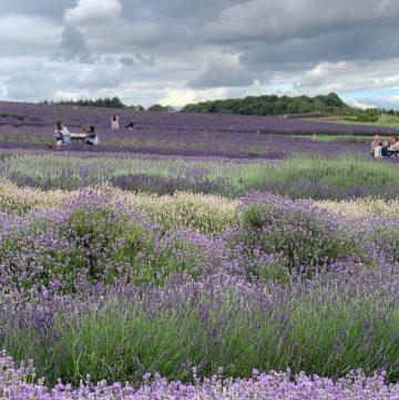 lavender, cotswolds pic: Kerstin rodgers/msmarmitelover.com